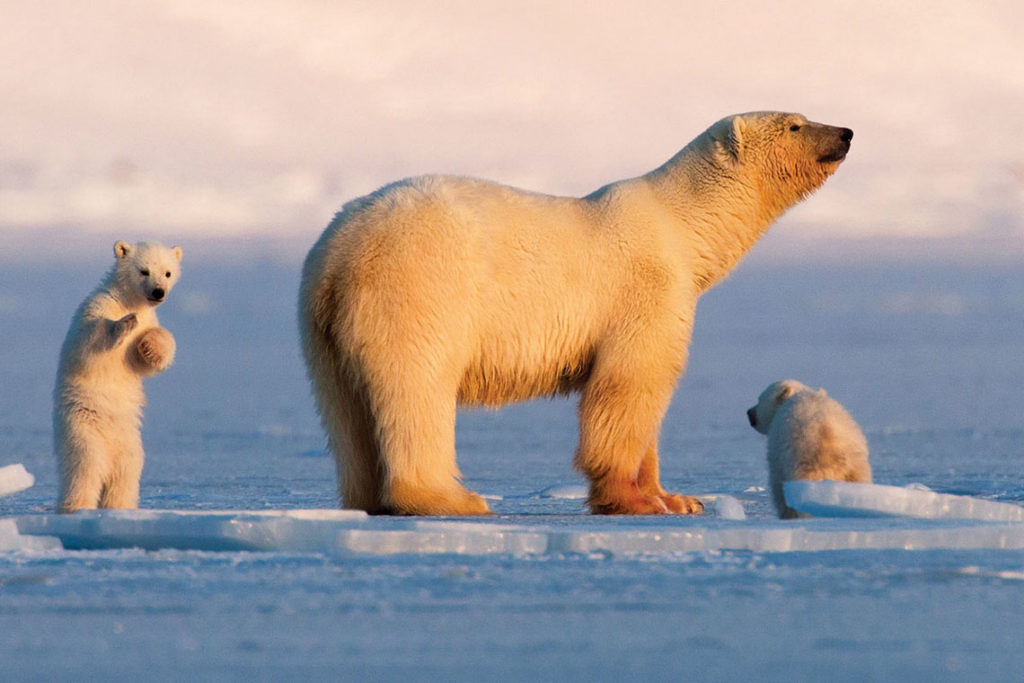 Famille d'ours polaires à Svalbard
