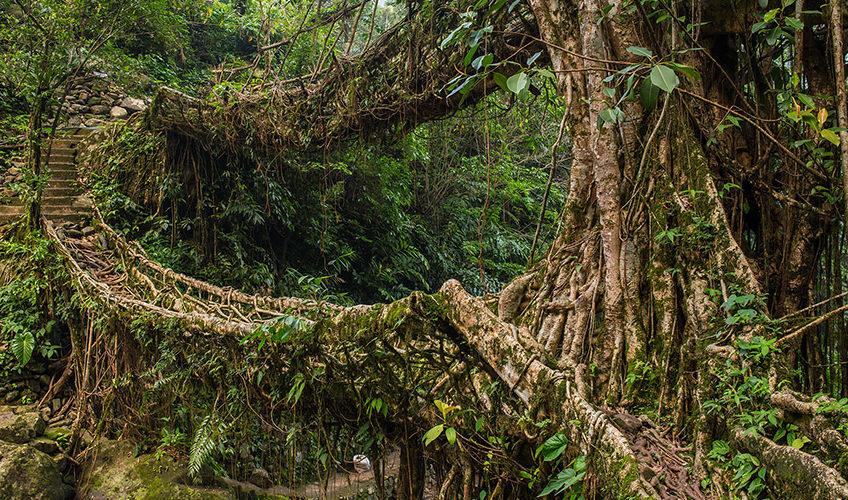 Pont végétal au Meghalaya, Inde