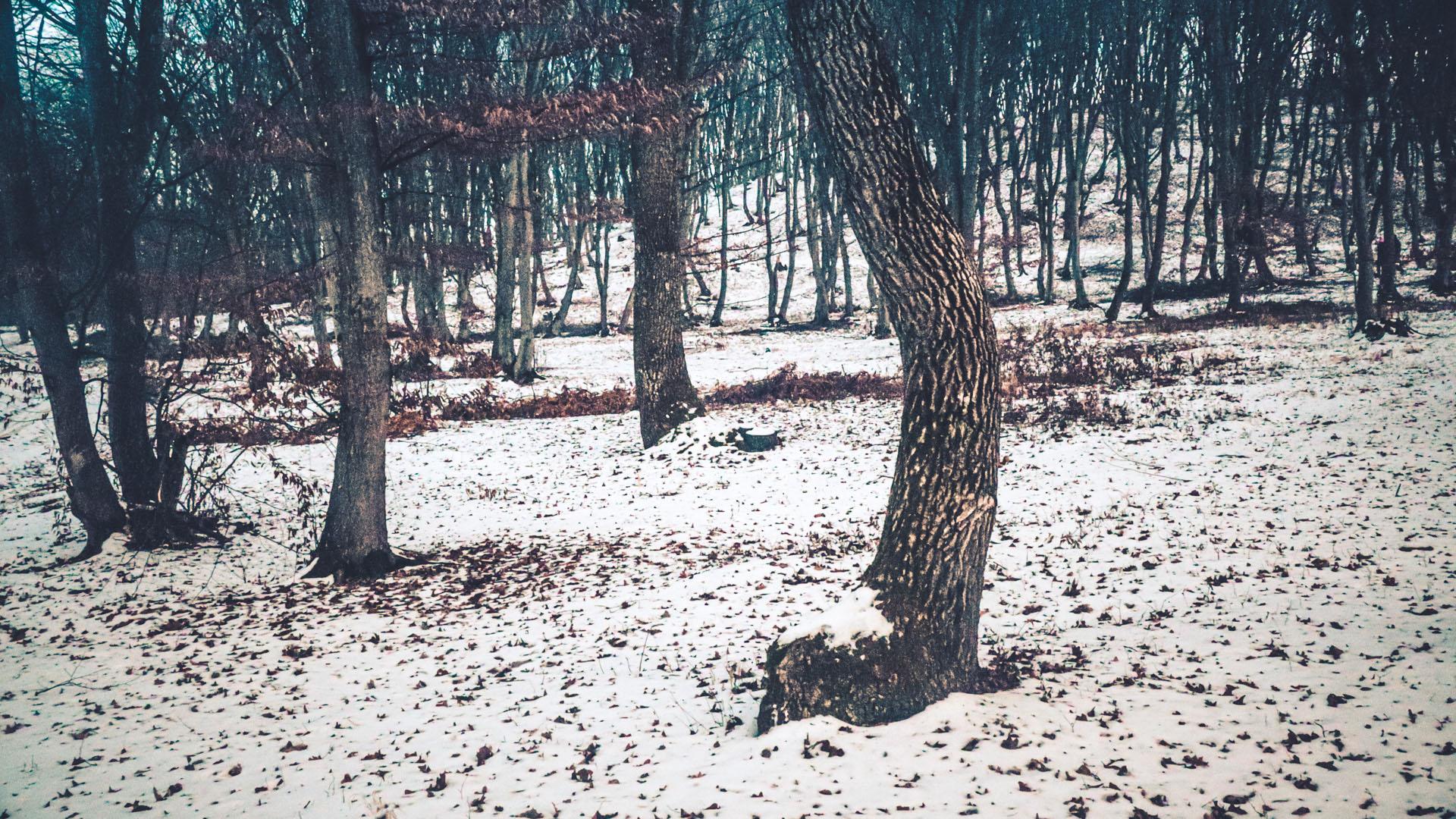 Arbre tordu en Roumanie