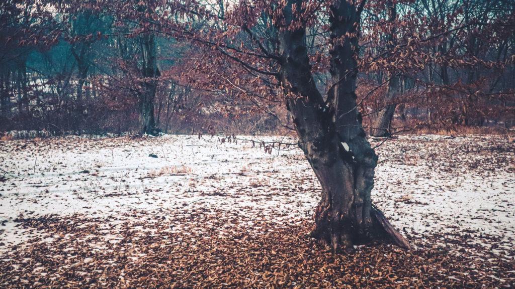 Un bel arbre tortueux au milieu de la neige