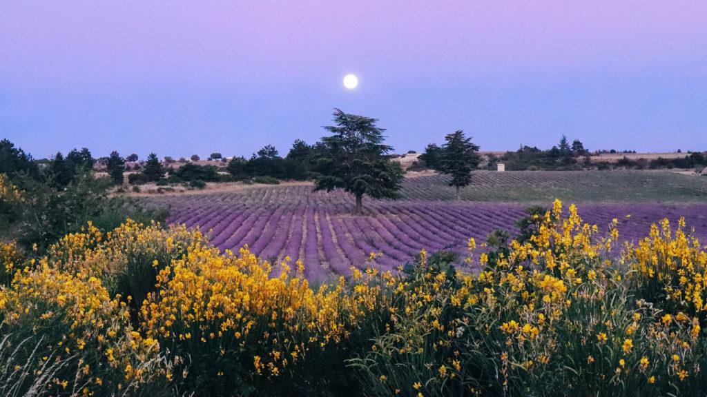 La pleine lune se lève sur les champs de lavande