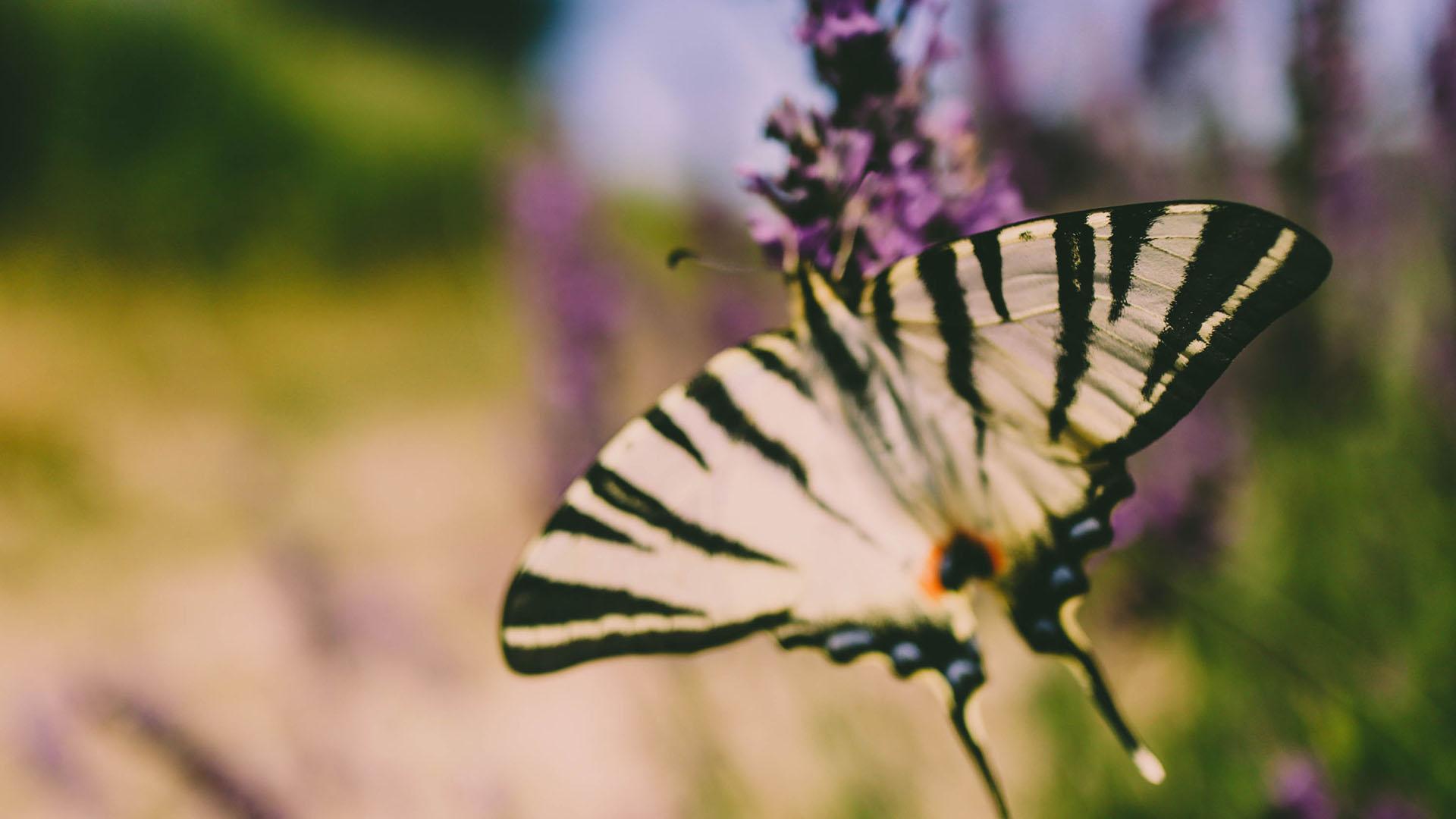 Papillon et lavande dans le col d'Ey