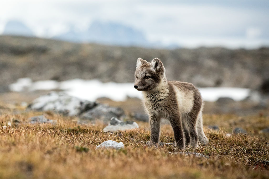 renard arctique, Svalbard